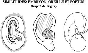 Embryon/Oreille